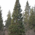 ель, spruce