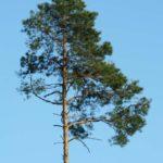 сосна, pine
